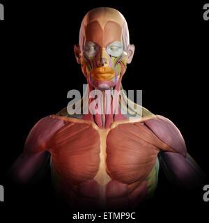 Die stilisierte Abbildung der Muskeln des Gesichts und des Oberkörpers, im Stil von einem Tonmodell mit jedem Muskel - Stockfoto