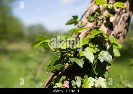 Gemeinsame Efeu - Hedera helix Stockfoto