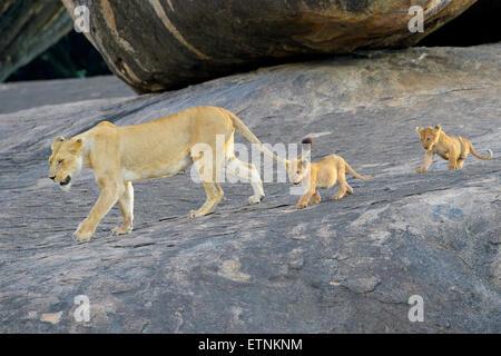 Löwin (Panthera Leo) zu Fuß auf eine Koppie mit zwei jungen nach, Serengeti Nationalpark, Tansania. - Stockfoto