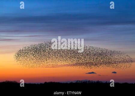 Europäischen Starling murmuration/große Herde von gemeinsamen Stare (Sturnus vulgaris) im Flug bei Sonnenuntergang - Stockfoto