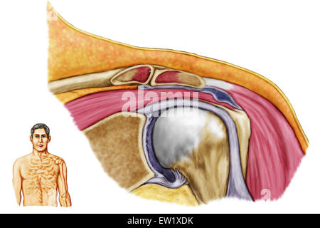 Anatomie der linken Schulter, koronale Ansicht. - Stockfoto