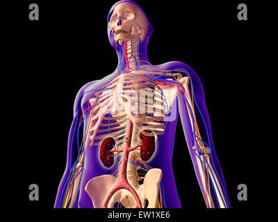 Skelett-Systems Stockfoto, Bild: 13174054 - Alamy