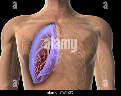 Transparente Sicht der menschlichen Brust zeigt die Lunge. - Stockfoto