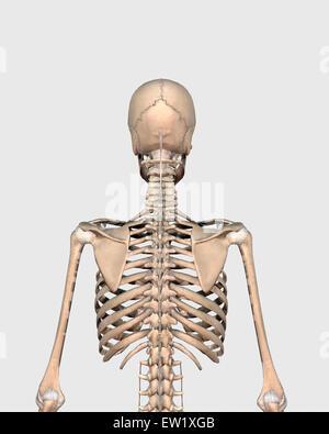 Rückansicht des menschlichen Skelettsystems zeigt obere zurück. - Stockfoto