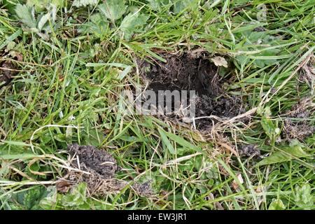 Östliche graue Eichhörnchen (Sciurus Carolinensis) eingeführten Arten, Schäden an Garten Rasen nach Graben auf gespeicherte - Stockfoto