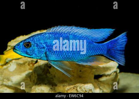 Zierfische in see stockfoto bild 17697936 alamy for Aquarium fische im teich