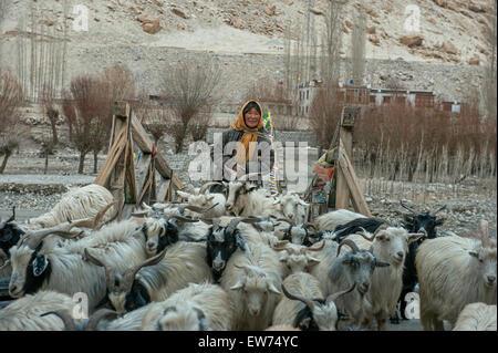 Changpa Frau führt ihren Pashmina Ziegen über Holzbrücke - Stockfoto