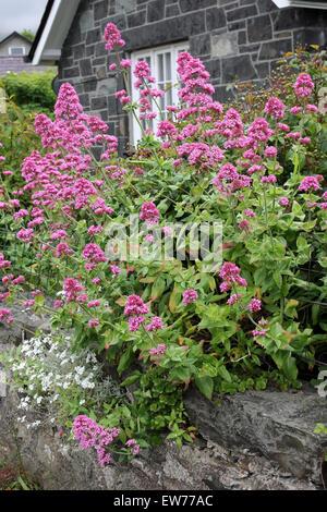 Roter Baldrian Centranthus Ruber - eine gemeinsame blühende Pflanze in Waliser Dörfern - Stockfoto
