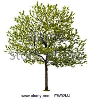 Acer Saccharinum auch bekannt als Silber Ahorn und Wasser Ahorn, in Ontario Kanada - Stockfoto