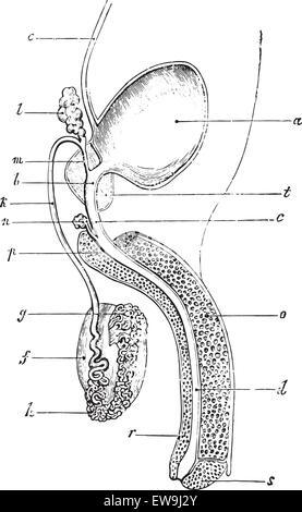 Männliche Fortpflanzungssystem, Zeichnung Stockfoto, Bild: 68400207 ...
