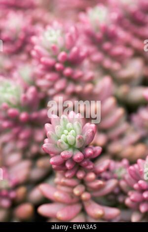"""Sedum X rubrotinctum Pflanzen """"Aurora"""" in einer geschützten Umgebung wachsen. - Stockfoto"""