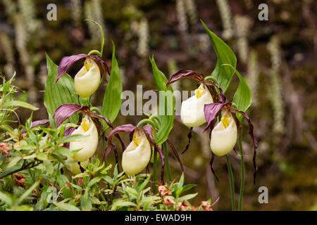 Kentucky Frauenschuh Orchidee Cypripedium Kentuckiense Blume ewigen ...