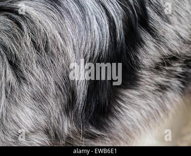 Border-Collie Hund Haare - schwarze und weiße Hintergrund - Closeup abstraktes Bild - Stockfoto