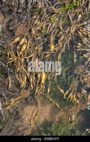Unteren Ufer Algen braun Seetang Algen Blase Wrack im Atlantik gefunden Felsenufer dominiert und verknotet Wrack - Stockfoto