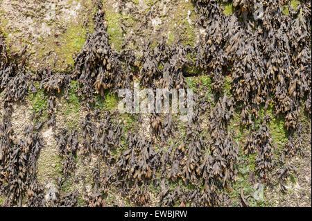 Unteren Küste Seegras Seetang Algen junge gezähnt oder gezackten Wrack dominiert Felsenufer Algen Blatt Enteromorpha - Stockfoto