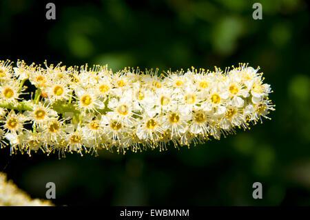 Reitens (Prunus Virginiana) Blüten, Pine Creek Conservation Area, Reise durch die Zeit National Scenic Byway, Oregon - Stockfoto