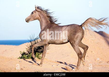 Arabisches Pferd. Junge Strawberry Roan Stute im Trab in der Wüste. Ägypten - Stockfoto