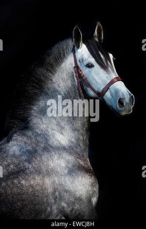 Rein spanische Pferd, andalusischen. Porträt von dappled graue Stute vor einem schwarzen Hintergrund zu sehen. Deutschland - Stockfoto
