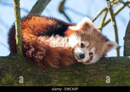 Kleinere Panda, Roter Panda (Ailurus Fulgens) dösen auf einem Ast. Zoo Dortmund, Deutschland - Stockfoto