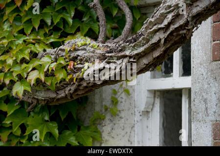 wildem Wein auf ein altes Haus - Stockfoto