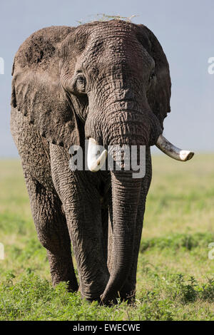 Elefant (Loxodonta Africana) auf dem Vormarsch - Stockfoto