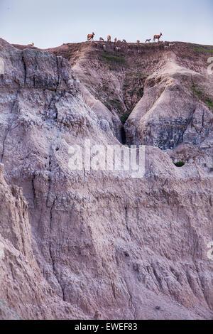 Bighorn Schafherde auf Hügel