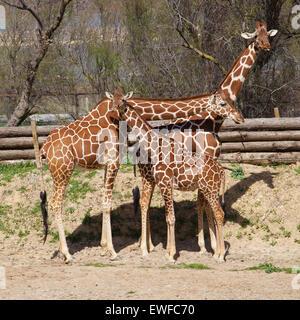 Gruppe der netzförmigen Giraffen (Giraffa Plancius Reticulata). - Stockfoto