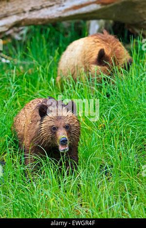 Coastal Grizzly Bärenjungen auf der Suche nach Nahrung bei Ebbe auf dem Festland British Columbia in Kanada - Stockfoto