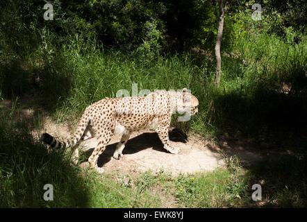 Ein Gepard in Gefangenschaft an das Réserve Africaine de Sigean im Languedoc, Frankreich - Stockfoto