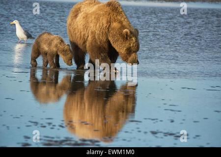 Zwei Grizzlybären, Mutter und Frühjahr Cub, Ursus Arctos, clamming in das Wattenmeer des Cook Inlet, Alaska, USA - Stockfoto