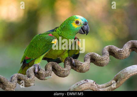 Blau-fronted Amazon Parrot, Amazona Aestiva, manchmal genannt blauem-fronted Parrot, Pantanal, Mato Grosso, Brasilien - Stockfoto