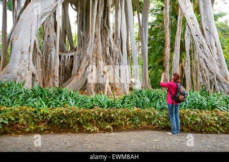 Ficus-Baum, Botanischer Garten, Puerto De La Cruz, Teneriffa, Kanarische Inseln, Spanien - Stockfoto