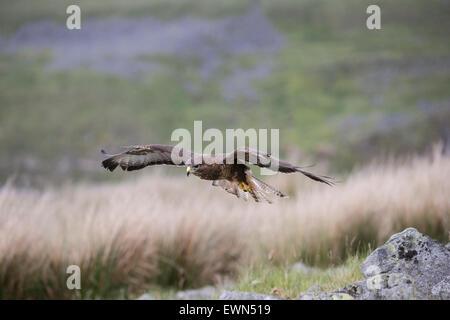 Nahaufnahme eines männlichen Bussard Buteo Buteo Jagd auf rauhe Weide und Moor zu öffnen - Stockfoto