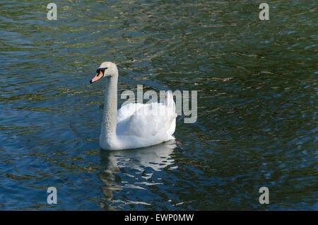 Erwachsenen Höckerschwan auf dem Fluss Cam - Stockfoto