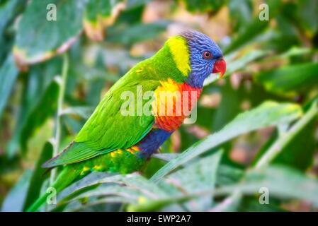 Papagei im Loro Parque, Puerto De La Cruz, Teneriffa, Kanarische Inseln, Spanien - Stockfoto