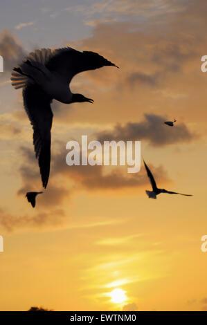 Anna Maria Island, Florida, USA. Juni 2015. Vögel über dem City Pier machen interessante Silhouetten, während die - Stockfoto