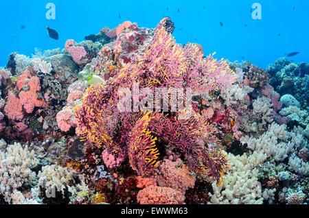 Gorgonien Koralle, Mopsella SP., Anilao, Batangas, Philippinen, Pazifik - Stockfoto