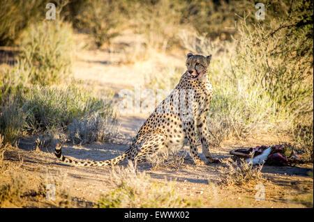 Südafrika - Gepard (Acinonyx Jubatus) ausruhen im Schatten in Khalagadi Transfrontier Park - Stockfoto