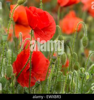 Nahaufnahme von Mohn in einem Feld in Somerset, in der Nähe von Bristol, England, UK - Stockfoto