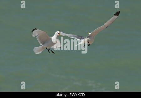Dreizehenmöwen-Larus Tridactyla im Flug dispays Aggression. Sommer. UK - Stockfoto
