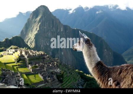 Llama (Lama glama) und Machu Picchu Inka Ruinen, in der Nähe von Machu Picchu Pueblo (aka Aguas Calientes), Cusco, - Stockfoto
