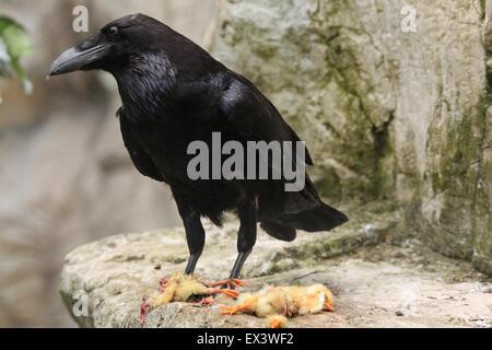 Gemeinsamen Rabe (Corvus Corax) Essen totes Huhn im Frankfurter Zoo in Frankfurt Am Main, Hessen, Deutschland. - Stockfoto