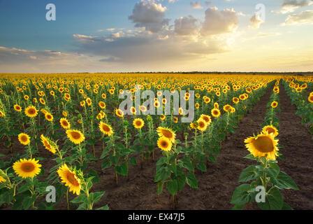 Feld von Sonnenblumen. Zusammensetzung der Natur. - Stockfoto