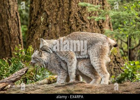 Kanada-Luchs Paarung im Nordwesten Trek Wildlife Park in der Nähe von Eatonville, Washington, USA - Stockfoto