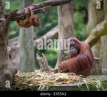 Erschöpfte Mutter Orang-Utan schlafen während seiner Baby Herumspielen - Stockfoto