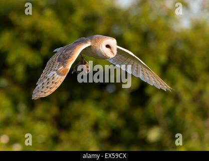Schleiereule (Tyto Alba) im Flug mit Beute - Stockfoto