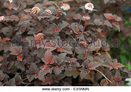 physocarpus opulifolius stockfoto bild 73199716 alamy. Black Bedroom Furniture Sets. Home Design Ideas