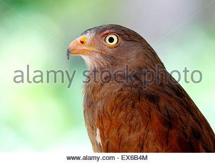 Rufous-winged Bussard Butastur liventer - Stockfoto