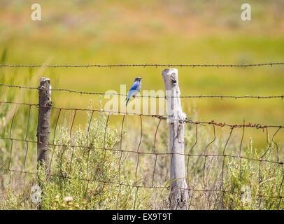 Vögel, Mountain Blue Bird thront auf einem Zaun. Idaho Zustand-Vogel, Idaho, USA - Stockfoto