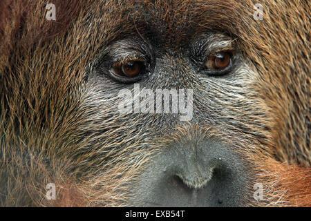 Hybrid aus der Sumatra-Orang-Utan (Pongo Abelii) und Bornean Orang-Utans (Pongo Pygmaeus) in Usti Nad Labem Zoo - Stockfoto